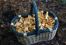 Chanty-basket full of Cantharellus formosus!