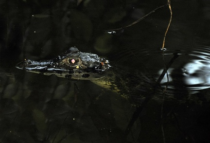 Spectacled Caiman - Caiman crocodilus yacare