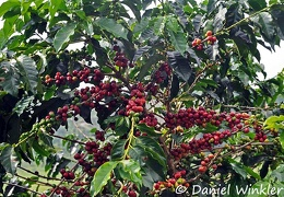 Coffee shrub with beans in Recuca