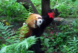 Red Panda (Ailurus fulgens) checking out flower at teh Panda center