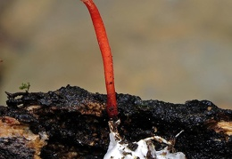 Ophiocordyceps caloceroides excavated DW M