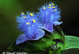 Cyanosis vaga a common weed. This spiderwort related to tradescentia