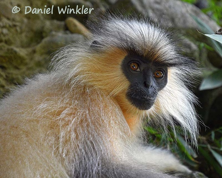 Golden langur face Cr DW Ms.jpg