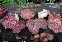 Auricularia wood ears locally eaten in Zhemgang