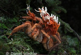 Cordyceps caloceroides growing out of a Tarantula seen near Pitalito