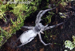 entomophagous fungus taking over a spider seen in Mocoa