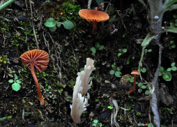 Hygrocybe Clavaria Top Hill S.jpg