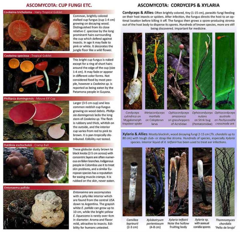 neotropical fungi Cordyceps Xylaria field guide page