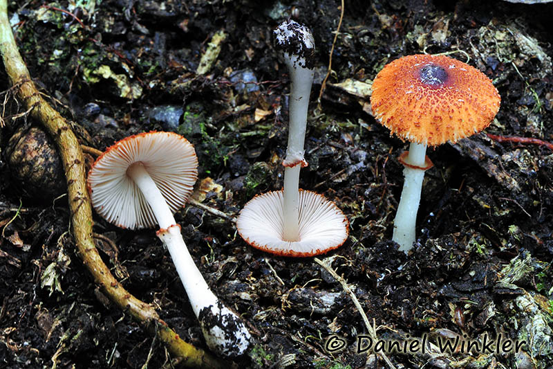 Lepiota rubrotincta group